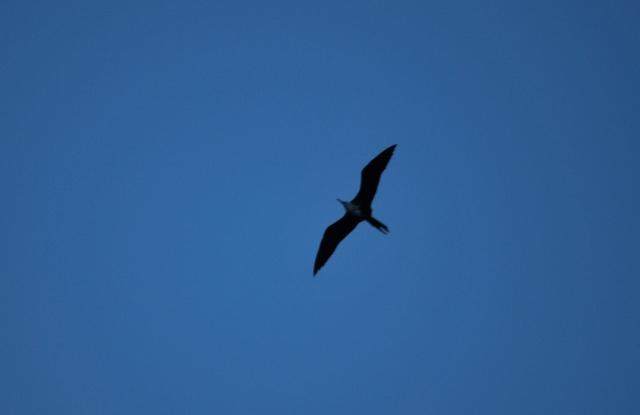 Frigate bird 2