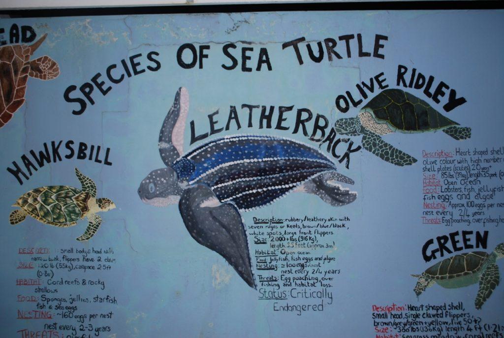Leatherback Turtle (2) (1280x857)