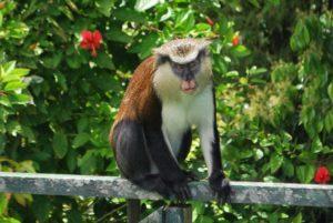 Mona monkey 3 (2) (640x429)